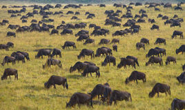 角马大牧群在大草原的 巨大迁移 肯尼亚 坦桑尼亚 马塞人玛拉国家公园 库存图片