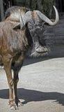角马属gnou牛羚拉丁名字被盯梢的白色 免版税库存图片