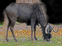 角马属gnou牛羚拉丁名字被盯梢的白色 库存图片