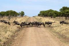 角马或牛羚横穿路 库存图片