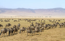 角马牧群在Ngorongoro走 图库摄影