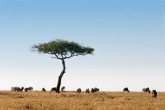 角马牧群马塞语玛拉肯尼亚非洲 免版税图库摄影