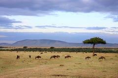 角马牧群马塞语玛拉肯尼亚非洲 库存照片