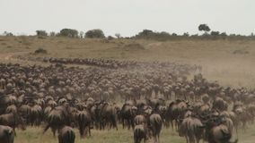 角马迁移从serengeti到马塞语玛拉 影视素材