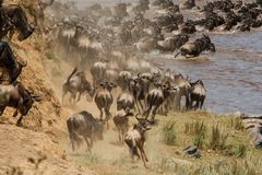 角马迁移在肯尼亚 库存图片