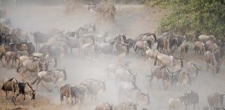 角马迁移在肯尼亚 免版税图库摄影