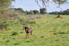 黑角马,纳米比亚 免版税库存图片