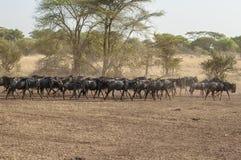 角马-牛羚-在serengeti 免版税库存照片