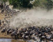 角马runing到玛拉河 巨大迁移 肯尼亚 坦桑尼亚 马塞人玛拉国家公园 库存图片