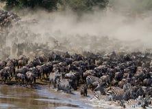 角马runing到玛拉河 巨大迁移 肯尼亚 坦桑尼亚 马塞人玛拉国家公园 免版税图库摄影