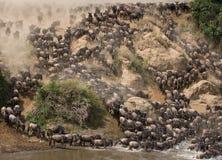 角马runing到玛拉河 巨大迁移 肯尼亚 坦桑尼亚 马塞人玛拉国家公园 图库摄影