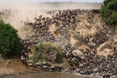 角马runing到玛拉河 巨大迁移 肯尼亚 坦桑尼亚 马塞人玛拉国家公园 免版税库存图片