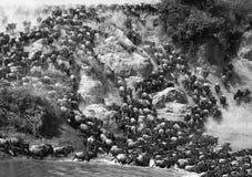 角马runing到玛拉河 巨大迁移 肯尼亚 坦桑尼亚 马塞人玛拉国家公园 免版税库存照片