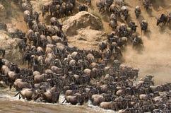 角马runing到玛拉河 巨大迁移 肯尼亚 坦桑尼亚 马塞人玛拉国家公园 库存照片