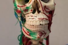 解剖学人体模型 一部分的与器官系统的人体模型 免版税库存图片