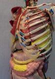 解剖学人体模型 一部分的与器官系统的人体模型 图库摄影