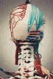 解剖学人体模型 免版税库存图片