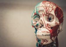 解剖学人体模型 免版税库存照片