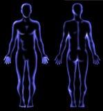 解剖学人力光芒x 库存例证