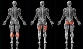 解剖学人力肌肉 库存图片