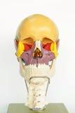 解剖学人头骨 库存照片