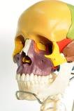 解剖学人头骨 免版税库存照片