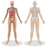 解剖学人妇女 库存图片