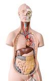 解剖学人时装模特 免版税库存图片