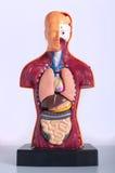 解剖学人 库存图片