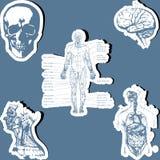 解剖学人 免版税库存照片