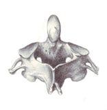 解剖学子宫颈人力椎骨 图库摄影