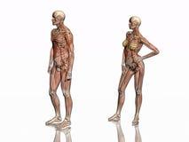 解剖学干涉transparant的概要 库存图片