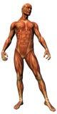 解剖学男肌组织 免版税库存照片