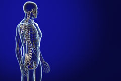 解剖学蓝色光芒x 库存例证