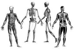 解剖学-维多利亚女王时代的解剖板刻 库存照片