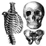 解剖学-维多利亚女王时代解剖图画 免版税库存照片