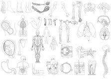 解剖学 免版税库存照片