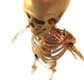解剖学 库存图片
