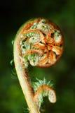解开的蕨叶状体 免版税库存照片