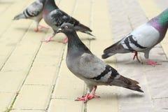 解救在pavemen的四只鸽子 免版税图库摄影