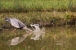 触击为鱼的灰色苍鹭 免版税库存图片