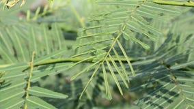 触觉敏感的植物反应的示范对被接触由棍子 股票视频