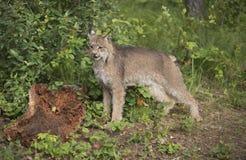 触击在大树桩前面的加拿大天猫座一个姿势 图库摄影