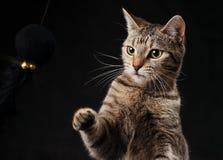 触击在玩具的平纹小猫 图库摄影