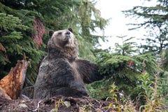触击姿势的北美灰熊在松鸡山,不列颠哥伦比亚省 免版税库存照片