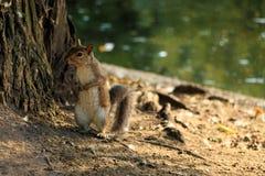詹姆斯公园灰鼠st 免版税库存图片