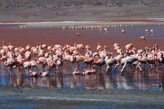 詹姆斯火鸟,南玻利维亚 免版税库存图片