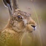 警惕欧洲野兔画象在草的 免版税图库摄影