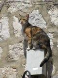 警惕猫 图库摄影