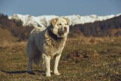 警惕白色毛茸的护羊狗 库存图片